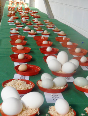 Table of Egg Exhibits before judging