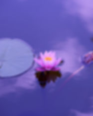 Canva - Lotus Flower in a Lily Pad.jpg