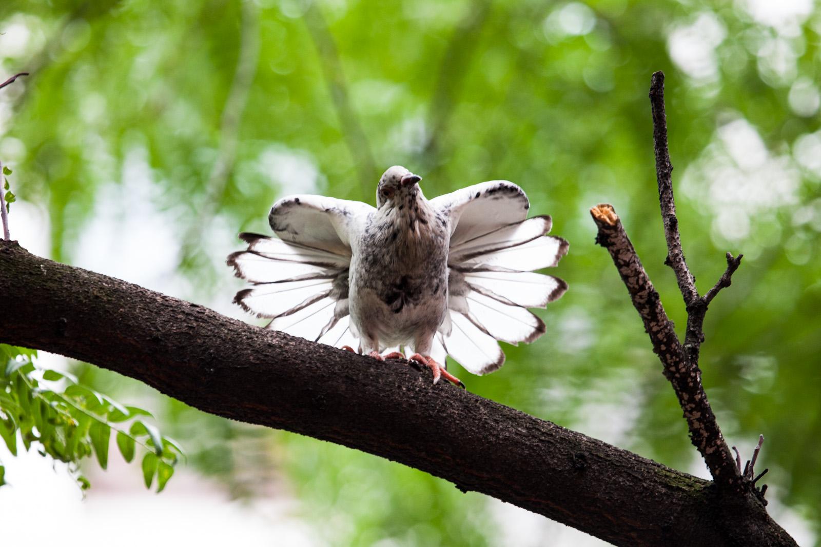 Miss. White Pigeon