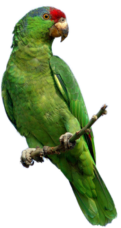 parrot_PNG730.png