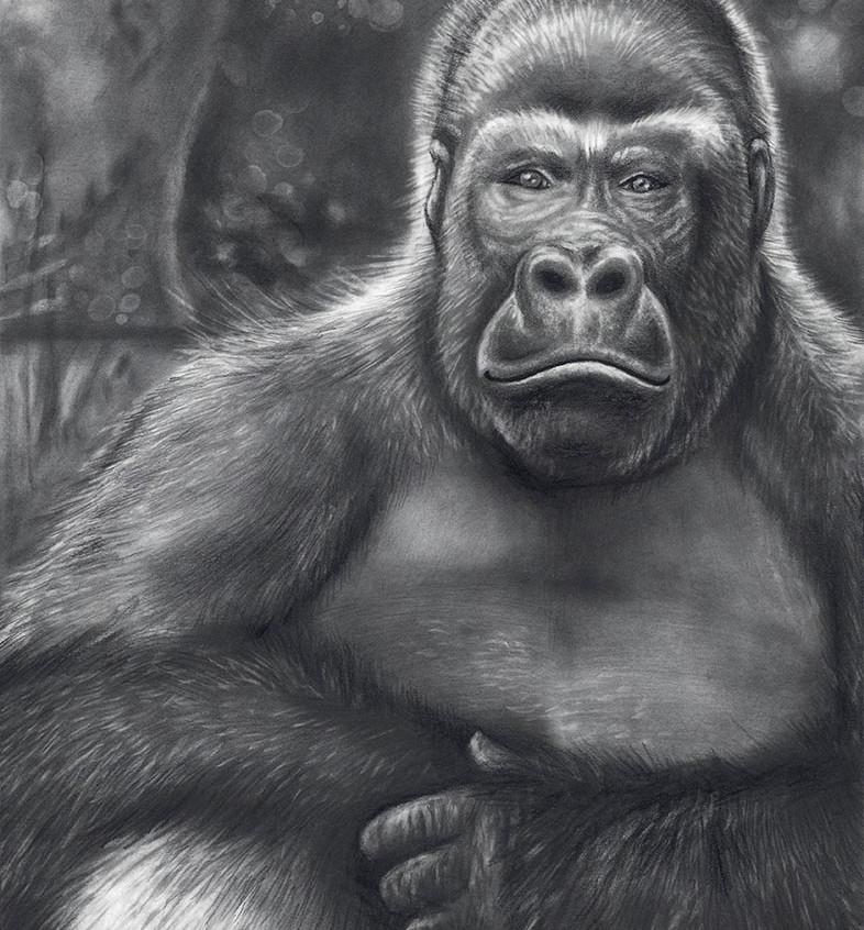 Gorilla in Pencil