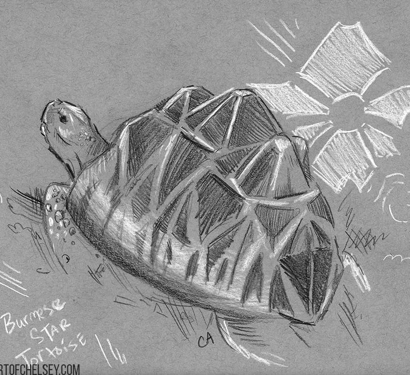 Star Turtoise Grey Sketch