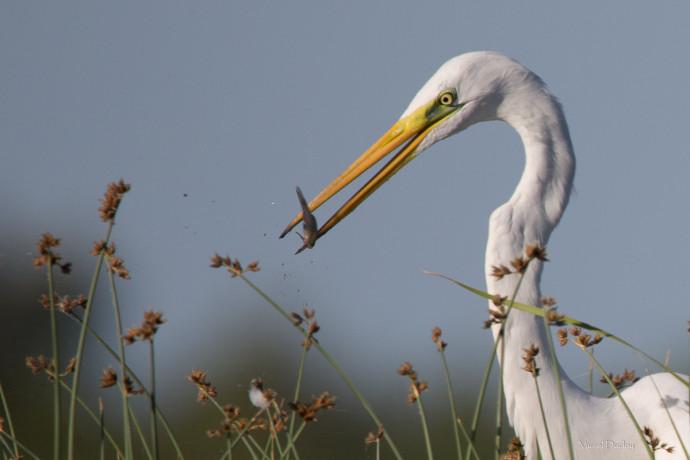 oiseaux-camargue-9