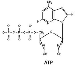 ATP-cAMP.png