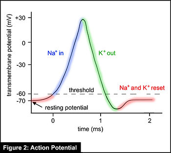 SF-2-action potential 2020.jpg