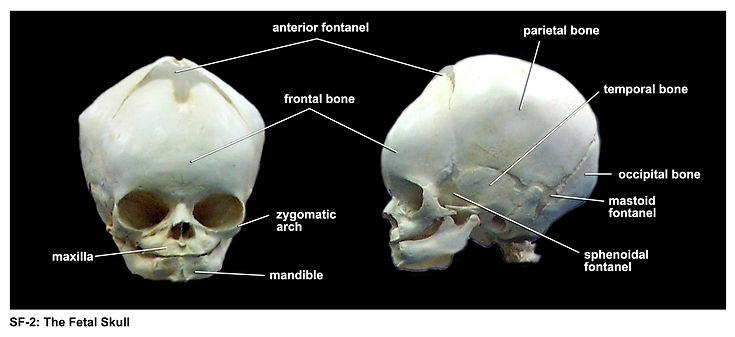SF-2-fetal skull.jpg