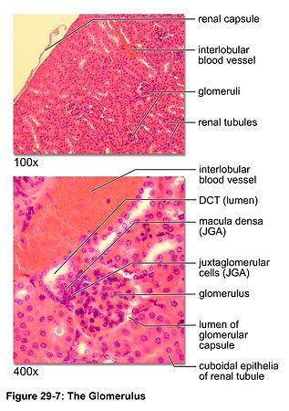 29-07-glomerulus.jpg