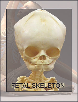 SF-skeleton.jpg