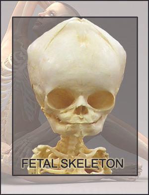 SF-skeleton.jpg