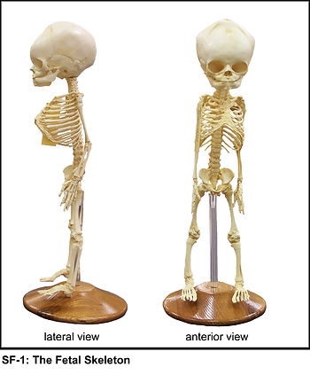 SF-1-fetal skeleton.jpg