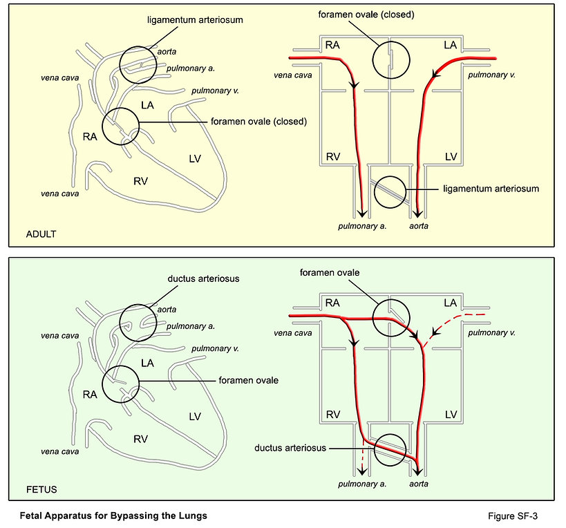 SF-3-fetal circulation.jpg