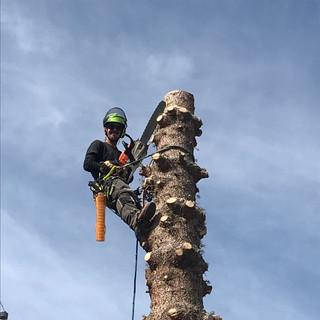 Joey Removing a spruce