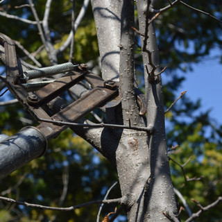 Pruning with a pole pruner