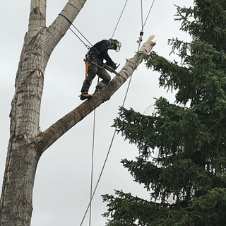 Rigging Poplar limbs during a removal
