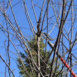 Pruning out black knot