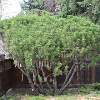 Mugo Pine pruning