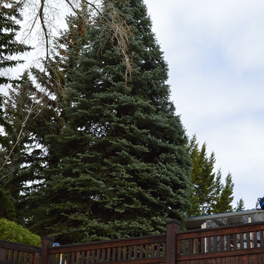 Gallery Pruning shaped spruce majestic s
