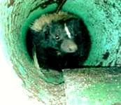 1_skunk_trapped_edited.jpg
