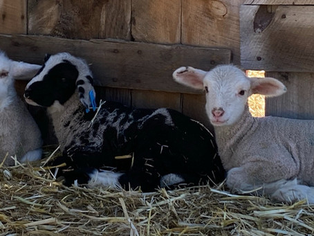 Have you ever wanted to own a fiber sheep?