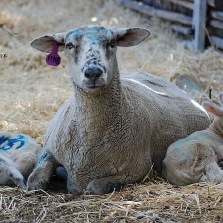 Sheep breeds.....