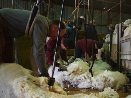 Shearing + Raw Wool = Yummy Fiber and Naked Sheep