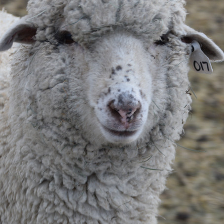 """Learn more about #017  """"Pixie"""" and her fleece..."""
