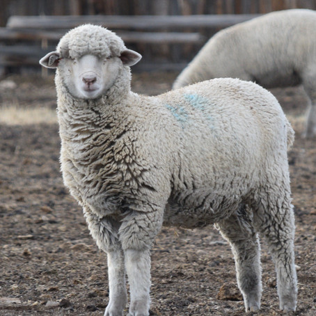 """Learn more about """"Millie"""" #010 and her fleece"""