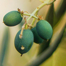 EVOO 100% CORNICABRA (OCTOBER HARVEST)