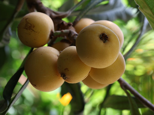 LOQUATS IN SYRUP WITH MISTELA WINE