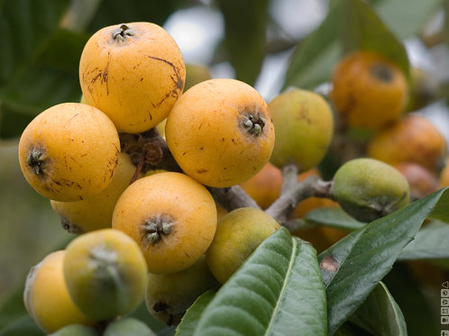 LOQUATS IN SYRUP (gourmet size)