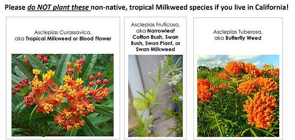 Do not plant tropical milkweed in California