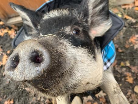Melvin The Mangalitsa Pig