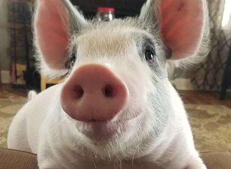 Floppy The Pig