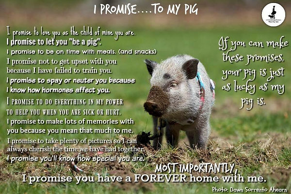 Before you consider getting a mini pig