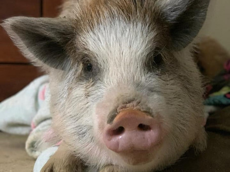 Waddles The Kune Kune Pig