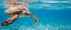 turtle_diving_seychelles_483.jpg
