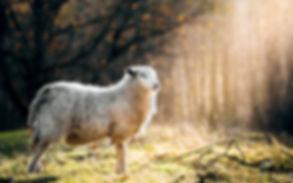 animals-sheep-sunlight-grass-wallpaper.j