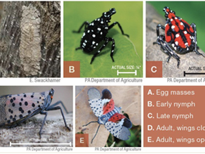 Stop the Spread - It's Time to Seek and Destroy Spotted Lanternfly Eggs