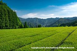 矢部村の茶畑