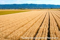 耳納連山を背景に麦畑