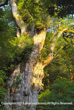 屋久島 朝日を浴びる縄文杉