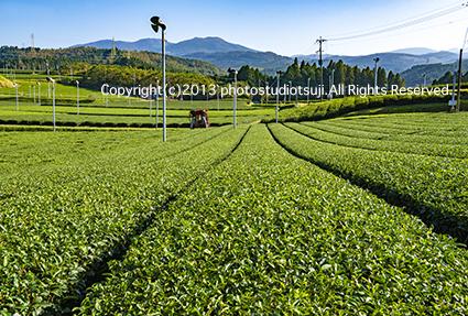 霧島の茶畑