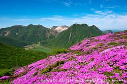 九重連山 平治岳のミヤマキリシマ