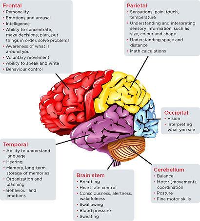 The-brain-regions.jpg