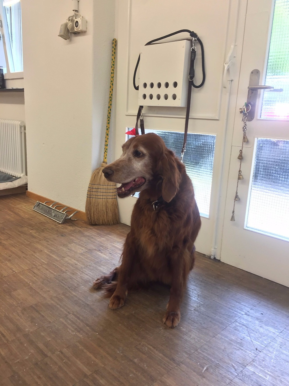 Cleo #irishsetter# grooming #dog