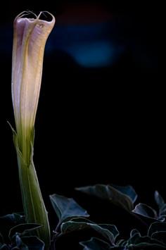 Datura wrightii 2 redo.jpg