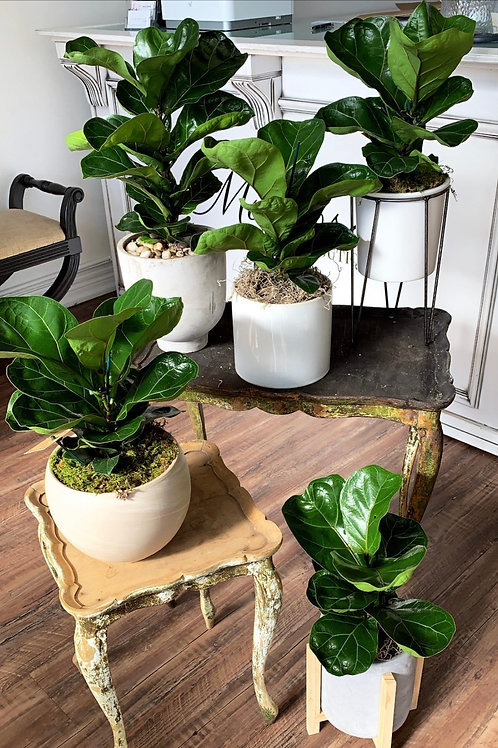 Small Fiddle Leaf Fig Plants