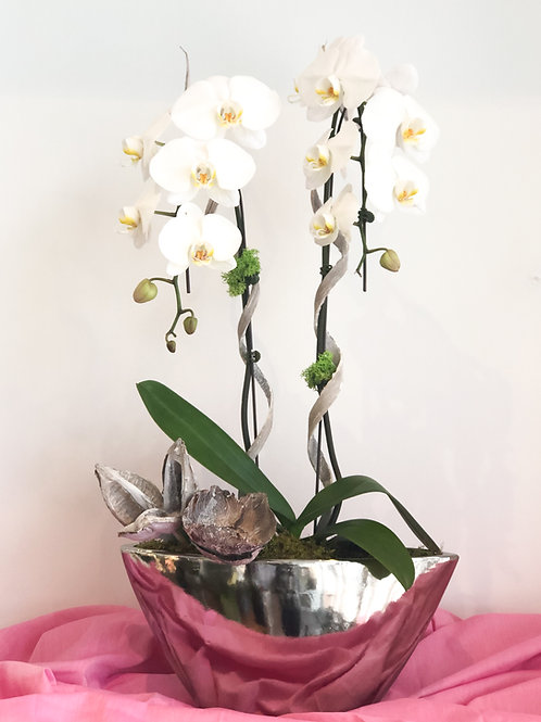 White Double Orchid
