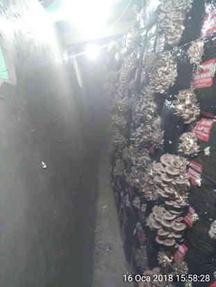 Çığ mantar k 6 İlk üretim
