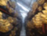 Mantarhane kurulumu mantar satışı istiridye mantarı işi nasıl yapılır istiridye mantarıkompost yapımı satışı mantar üretimi satışı